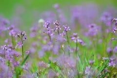 Blomstra det violetta fältet Royaltyfri Fotografi