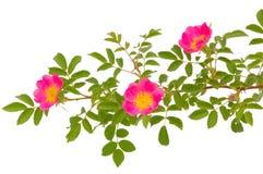 blomstra dogrose Royaltyfri Bild
