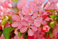 blomstra för äpple royaltyfri bild