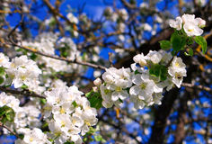 blomstra för äpple Arkivfoton