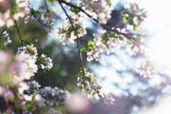 blomstra för äpple royaltyfri fotografi