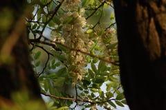 blomstra för acacia Royaltyfria Bilder