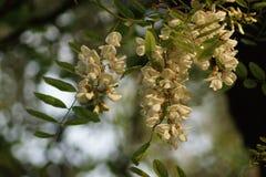 blomstra för acacia Arkivbild