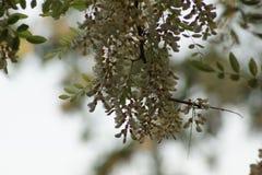 blomstra för acacia Arkivfoton