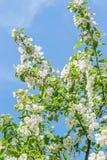 Blomstra för Apple blommor Royaltyfria Bilder