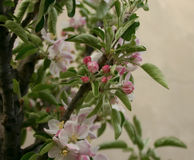 Blomstra för Apple träd Arkivfoto