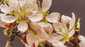 Blomstra för aprikosblomma stock video