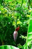 Blomstra för banan Fotografering för Bildbyråer