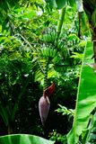 Blomstra för banan Arkivbild