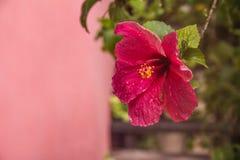 Blomstra för Hibyscus blomma Arkivbilder