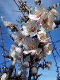 Blomstra för Ibiza mandlar Royaltyfria Foton