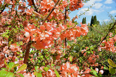 Blomstra för japansk kvitten royaltyfri bild
