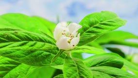 Blomstra för mispel stock video