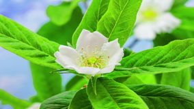 Blomstra för mispel lager videofilmer