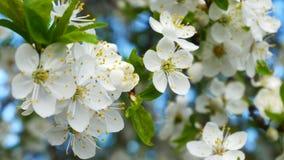 Blomstra för Myrobalanplommon stock video