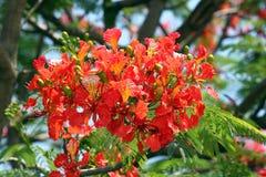 Blomstra för påfågelblommor. Royaltyfria Bilder