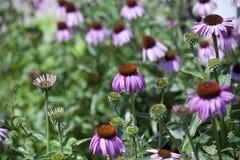 Blomstra för purpurfärgad klematis Royaltyfri Bild