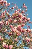 Blomstra för träd Arkivfoton