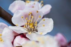 Blomstra för vår av ettträd Blomstra för vår av körsbäret Fotografering för Bildbyråer