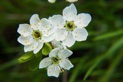 Blomstra för vår av ettträd Blomstra för vår av körsbäret Arkivbilder