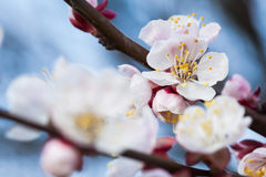 Blomstra för vår av ettträd Blomstra för vår av körsbäret Arkivbild