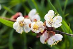 Blomstra för vår av körsbäret Arkivfoto