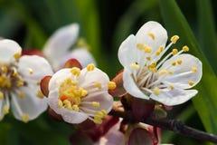 Blomstra för vår av körsbäret Royaltyfri Bild