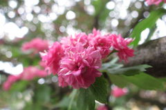 Blomstra filialen av äpplet Fotografering för Bildbyråer