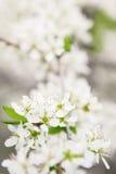 Blomstra filialen av Apple-trädet i solig dag Royaltyfria Bilder