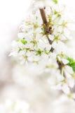 Blomstra filialen av Apple-trädet i solig dag Arkivfoto