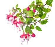 Blomstra filialen av en fuchsia Alwin Arkivbild