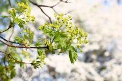 Blomstra filialen av en lönn Arkivfoto