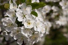 Blomstra filialen av ett körsbärsrött träd i en vårfruktträdgård, makro Selektivt fokusera Royaltyfri Foto