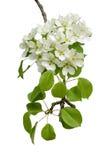 Blomstra filialen av päronträ Fotografering för Bildbyråer