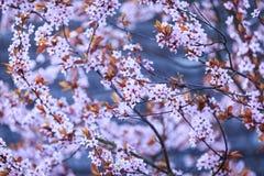 Blomstra filialen med med blommor av Prunuscerasiferaen Arkivbilder