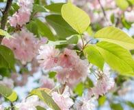 Blomstra filialer av den japanska körsbäret 1 bakgrund blommar pink Royaltyfri Bild