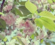 Blomstra filialer av den japanska körsbäret 1 bakgrund blommar pink Tappning tonat foto Fotografering för Bildbyråer