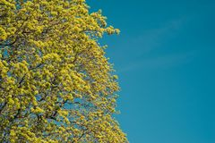 Blomstra filialer av ett lönnträd på våren mot blått s royaltyfri fotografi