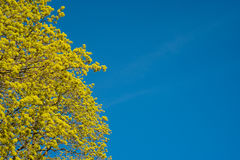 Blomstra filialer av ett lönnträd på våren mot blått s arkivbilder