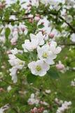 blomstra filialtree för äpple Arkivbild