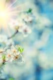 Blomstra flovers av det körsbärsröda trädet på suddig bakgrund av tjänstledigheter Royaltyfri Foto