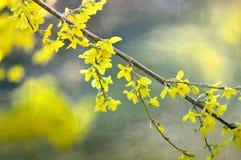 Blomstra forsythiaväxten med en tappningtextur Arkivfoton