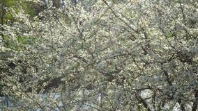 Blomstra fruktträd stock video