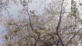 Blomstra fruktträd, körsbärsröda träd och flygabin runt om blommorna, solen till och med de körsbärsröda blommorna lager videofilmer