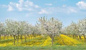 blomstra fruktträdgård för äpple Royaltyfri Foto