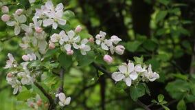 Blomstra fruktträdgårdar med bin på våren med sånger av lösa fåglar Blommande fruktträdgårdträd yellow för fjäder för äng för bak arkivfilmer