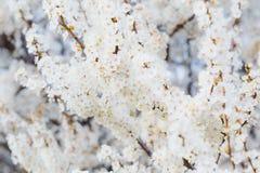 Blomstra frunch av den körsbärsröda plommonet med blommor i härligt ljus Arkivfoto