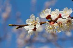 Blomstra frunch för äppleträd med vita blommor på lantgårdmörker b royaltyfria foton