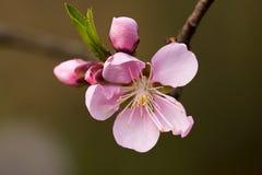 blomstra funktionspersikan Royaltyfri Bild
