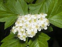 Blomstra hagtorn eller maythorn, blir grund crataegusen, blommor och sidor närbilden, selektiv fokus, DOF fotografering för bildbyråer